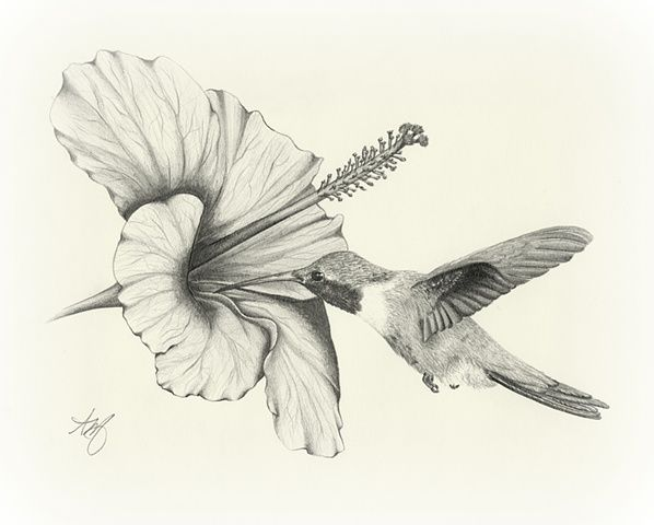 Amazing Pencil Drawings Flowers | drawing sketch art wildlife bird hummingbird flower hibiscus pencil ...