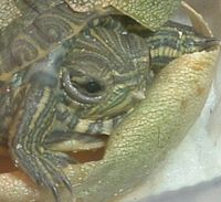 Red-eared slider - Wikipedia, the free encyclopedia