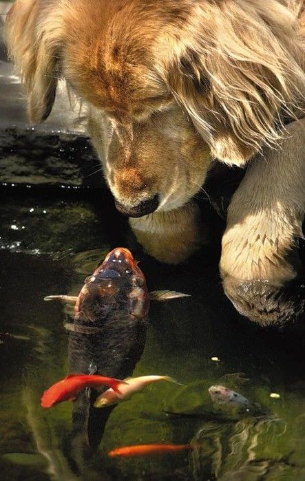 like Wrigley.hahaha.the fish is saying hello and welcome to my pond and dont eat us or we will eat you!!!the dog is saying ok  but i will drink your water and axadently eat you that way!!!