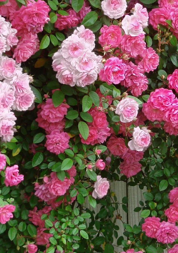 Climbing Roses ~ New Dawn and Pinkie