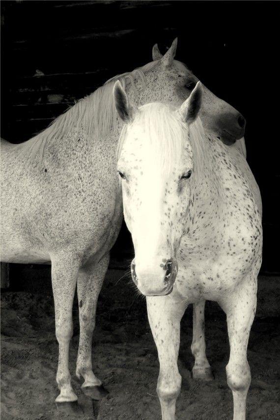 dapple grey horse more white