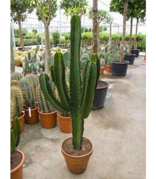 Grote cactus   Stijlvol én gemakkelijk   Chicplants