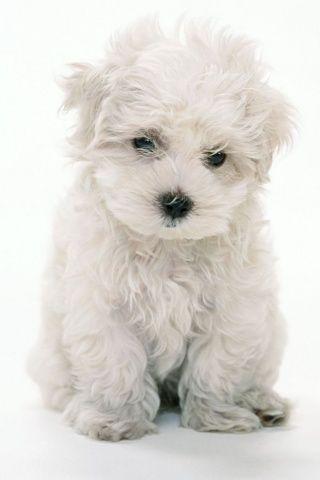 ♥ sweet white puppy