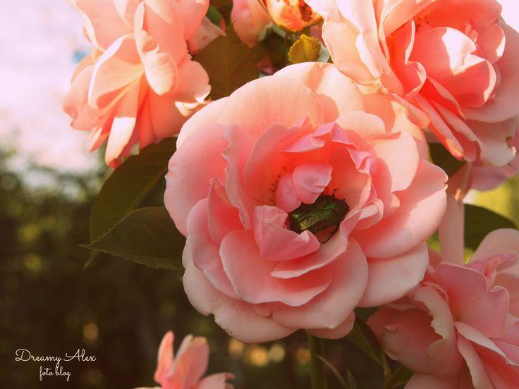 Uwielbiam takie róże, a ich zapach jest tak piękny, że chciałoby się go zatrzymać na dłużej...