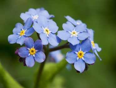 Alaska: Forget-me-not: Flowers Gardens, Flowers Power, Things Flowers, Flowersto Delight, Forget Me Not, Flowers Schemes, Bouquets Flowers, Flowers May, Alaska States