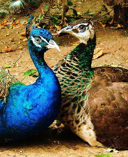 Although a pet peacock is admired for his vivid colors, the bird emits harsh vocal sounds that contradict his stunning appearance. Pet peacocks can be irascible and may not get along well with other birds.