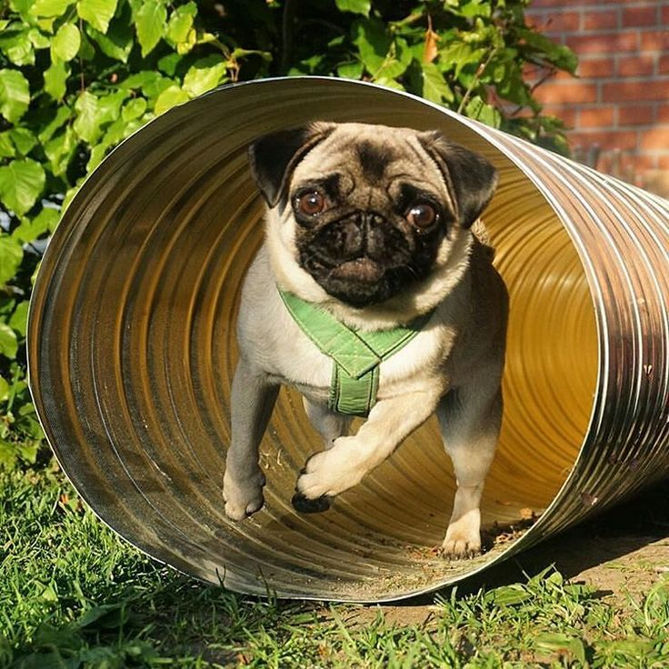 Tunnel vision   by @notjustanotherpug  DoubleTap & Tag a Friend below by pugsproud