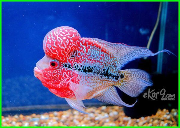 Download 41 Gambar Ikan Hias Yg Cantik HD Terbaru