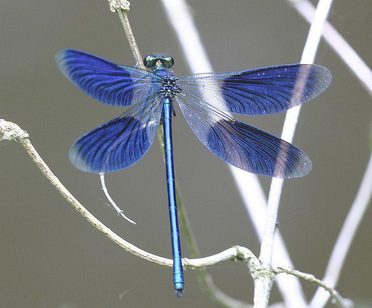 Calopteryx splendens male | TrekNature
