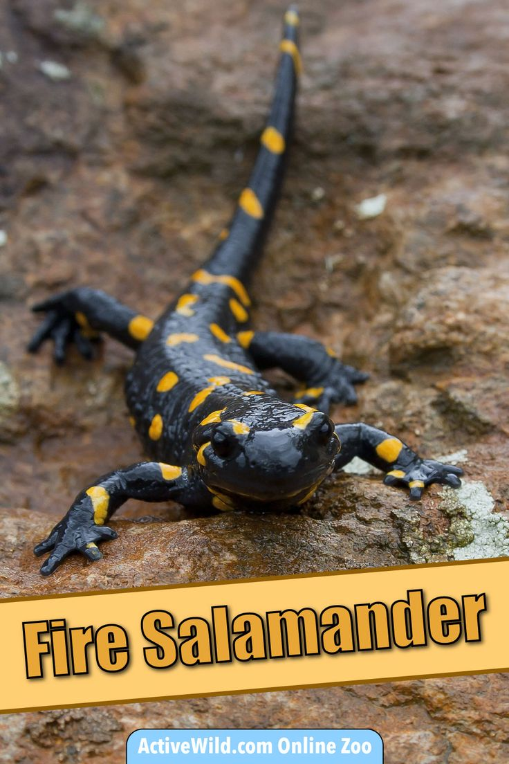 Fire salamander facts: discover this amazing amphibian at the Active Wild online zoo!