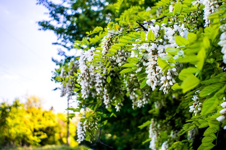 Robinia Flowers - Blooming Robinia tree lit by the setting sun.