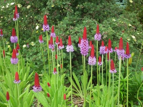 Primula vialii blooming in the Perennial Garden