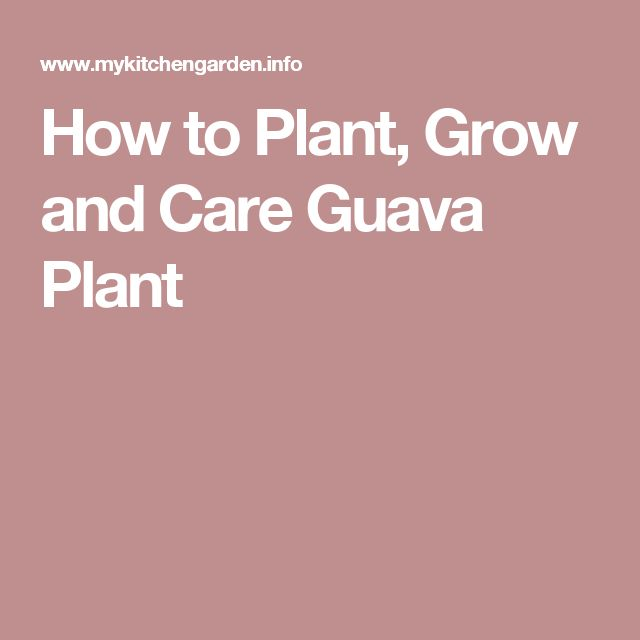 How to Plant, Grow and Care Guava Plant