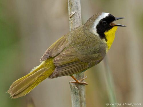 how to learn bird songs