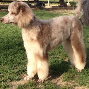 Pixie -- a Moyen (small standard) brown merle purebred Poodle.