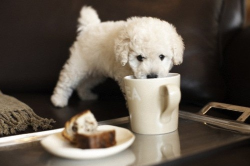 .: Teas Time, Puppies, Cups, Cute Pet, Afternoon Teas, Memorial Mornings, Little Dogs, Animal, Toys Poodle