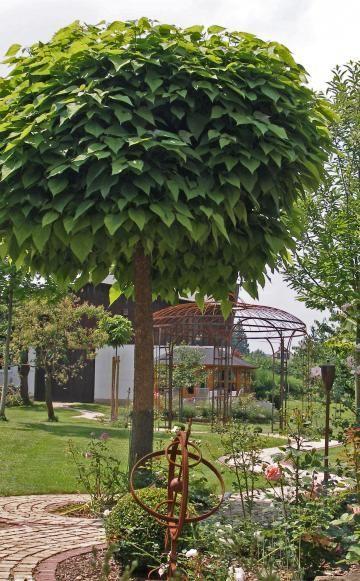 Kugel-Trompetenbaum (Catalpa bignonioides 'Nana')