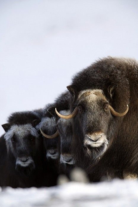 Musk-ox cows and calves in a defensive lineup in winter on the Seward Peninsula near Nome, Alaska by Milo Burcham
