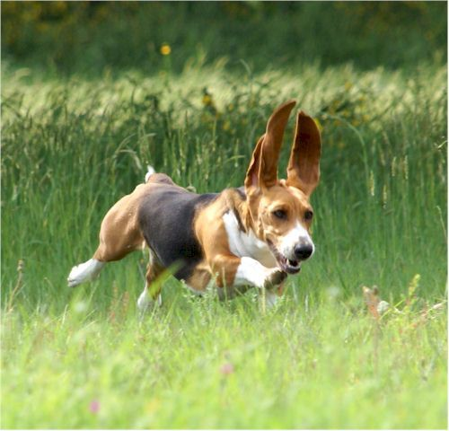 205 best images about basset artesien normand on pinterest frances o 39 connor animaux and training - Petit basset hound angers ...