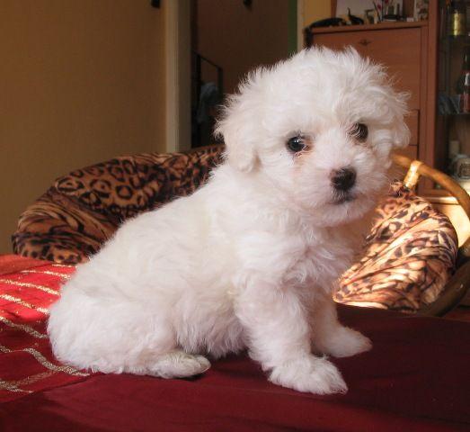 Want a little Bolognese pup sooooo bad!