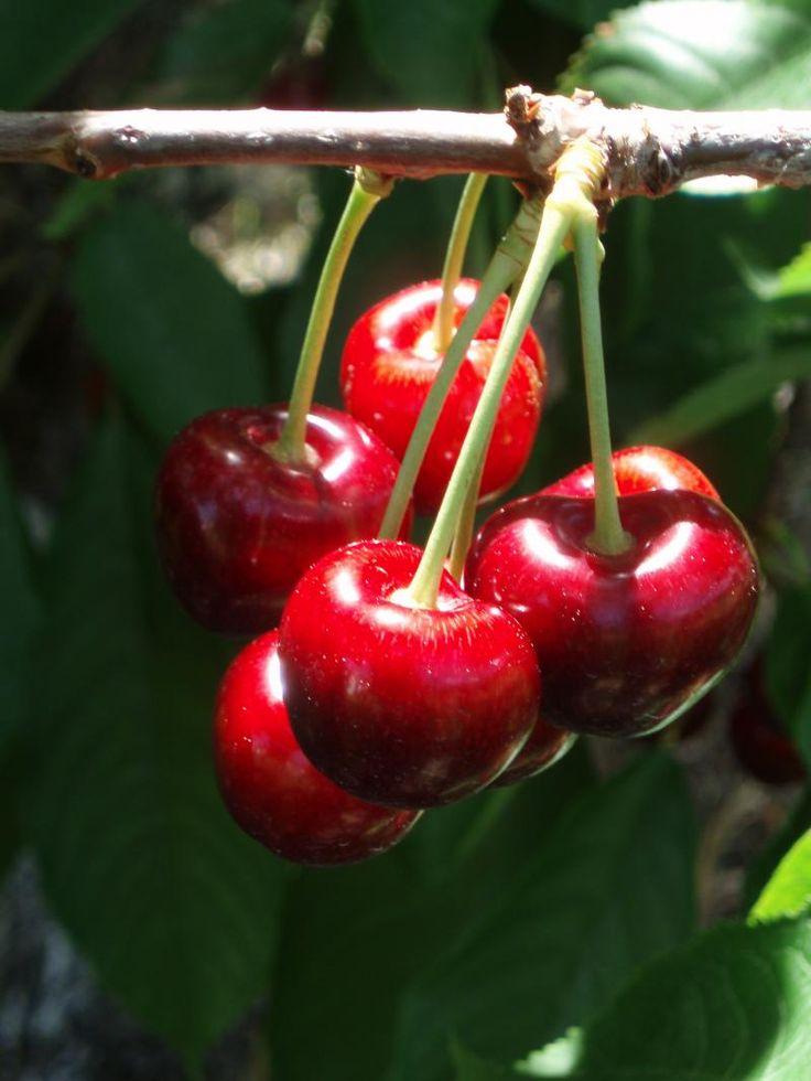 Kelowna cherries