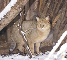 The jungle cat (Felis chaus), also called reed cat or swamp cat, is a medium-sized cat found in China, the Indian subcontinent, the Middle East and central and southeastern Asia.