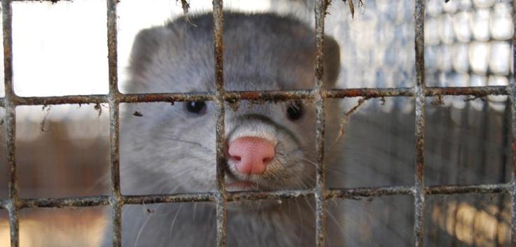 2009, Spanien - Im Laufe eines Jahres haben Aktivist_innen von Animal Equality das Leben und Sterben von Nerzen in der Pelzindustrie dokumentiert.