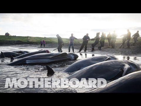 The Grind: Whaling in the Faroe Islands (Full Length) - YouTube _______The Faroe Islands_______ have been under Danish control.