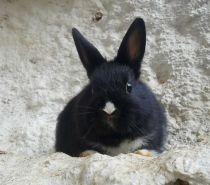 Photos Vivastreet Lapereaux bébés lapins nains, mâles et femelles - (Pro)