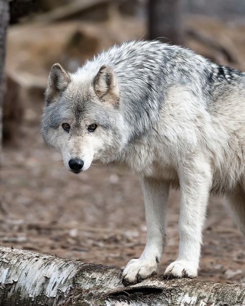 #wolf #wolves #animals