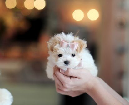 <3<3<3 Darla the Morkie AVAILABLE NOW! <3<3<3 So Tiny! So Cute! 954-353-7864 www.teacuppuppiesstore.com  #morkie #teacupmorkie #maltese #yorkie #yorkshire #terrier #mixed #toy #teacup #micro #pocketbook #teacuppuppies #teacuppuppiesstore #tiny #teacuppuppiesforsale #small #little #florida #miami #fortlauderdale #bocaraton #westpalmbeach #southflorida #miamibeach #cute #adorable #puppy #puppiesforsale #puppylove #unique #mini #miniature