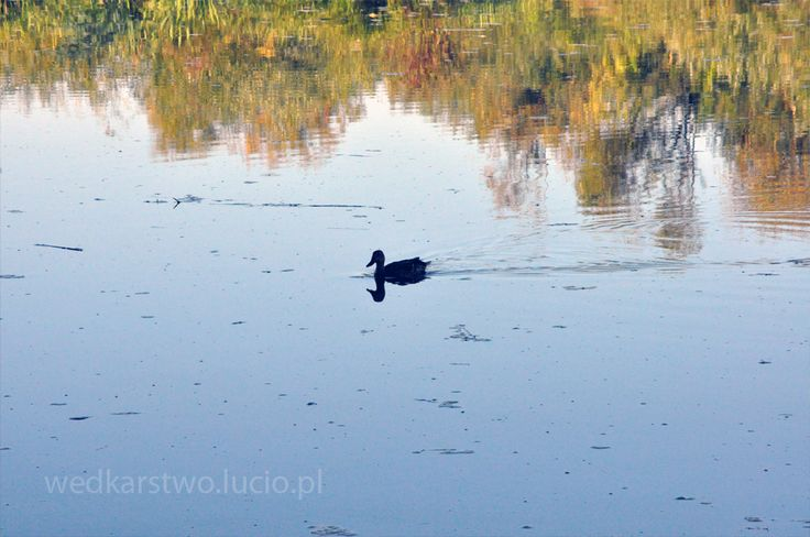 #duck on #Wisłok #river in #Poland