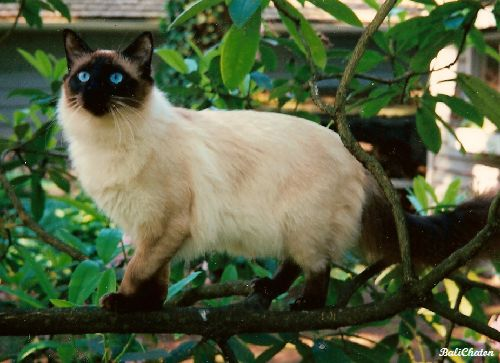 Old-Style_Balinese_Cat