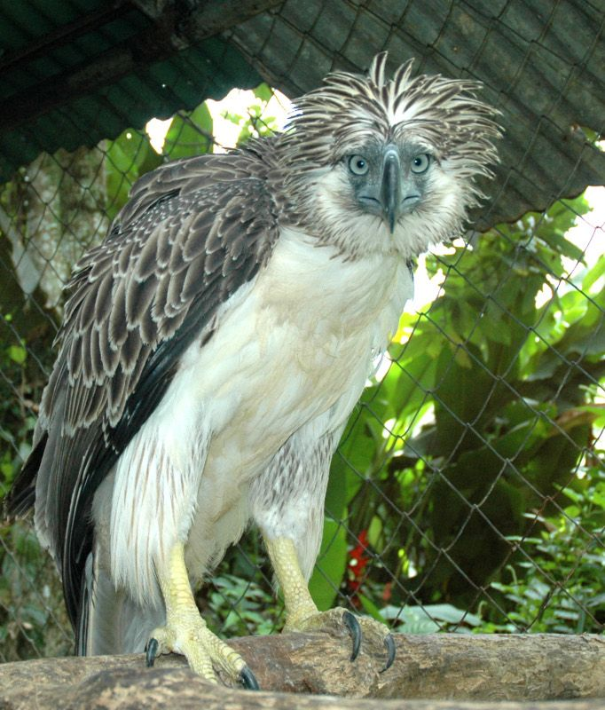 The Philippine eagle (Pithecophaga jefferyi), also known as the monkey-eating eagle or great Philippine eagle - Among the rarest and most powerful birds in the world. It is critically endangered, mainly due to massive loss of habitat due to deforestation in most of its range.