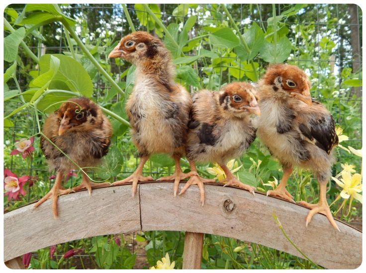 Blue Double Laced Barnevelder Chicks for sale at Northwoods Poultry