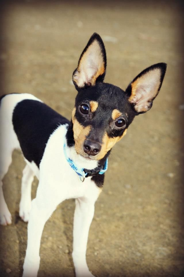 "Toy Fox Terrier .. Reminds me of my ""little man"" Oliver!"