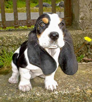 Basset Hound Puppy ♡. I want another Basset puppy.