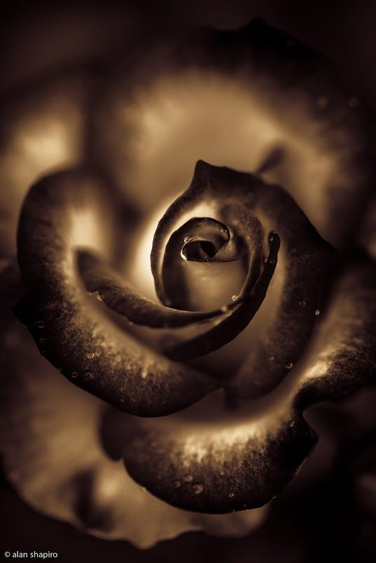#Photography,Black Shadowy Rose