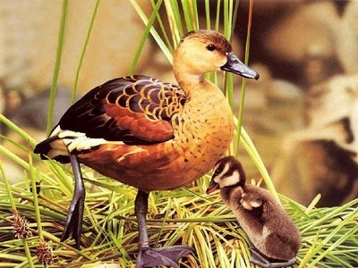 mother duck and ducklingAge Ago, Little One, Animal Pictures, Beautiful Animal, Baby Animal, Beautiful Birds, Animal Mothers, Planets Earth, Adorable Animal
