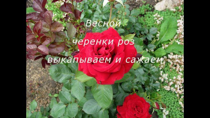Как сохранить черенки роз осенью и посадить их весной