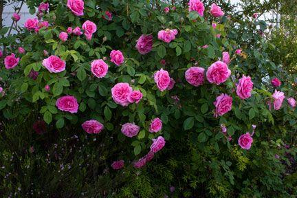 gertrude jekyll rose jard n garden pinterest. Black Bedroom Furniture Sets. Home Design Ideas