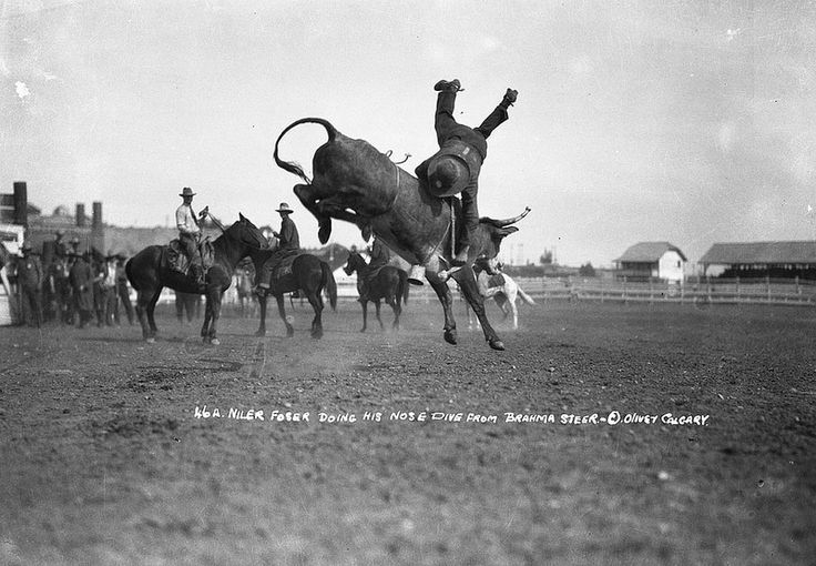 Niler Foser doing nose dive from Brahmas steer, at the Calgary Exhibition and Stampede,1929, by Oliver, W.J., Calgary, Alberta