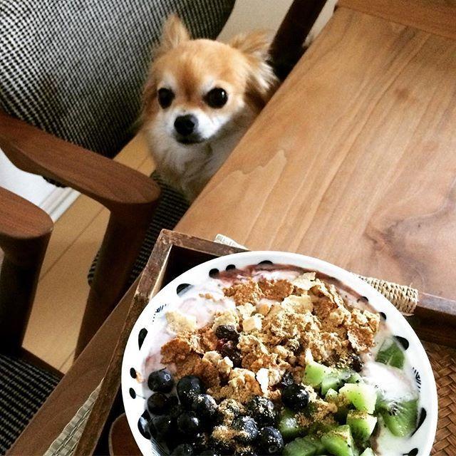 20170618 . .  おとうしゃんのいない朝はおかあしゃんに「くれろ〜!」... はしない! だってパンじゃないし、キウイとかブルーベリーはいらにゃいし! . .  みんな、ハブ ア ナイス サンデー♬ . .  #愛犬#チャンプくれろ #ワンコ#チワワ#グラノーラ#朝食#granola #dog #chihuahua #dogstagram #instadog #dogstagram . .