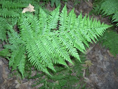 Care Of Lady Ferns: Planting Lady Ferns In The Garden - For finely textured foliage in the shady to part sun garden or natural wooded area, consider growing lady fern plants. Lady fern plants are reliable and easy to grow. Read this article to learn more about them.
