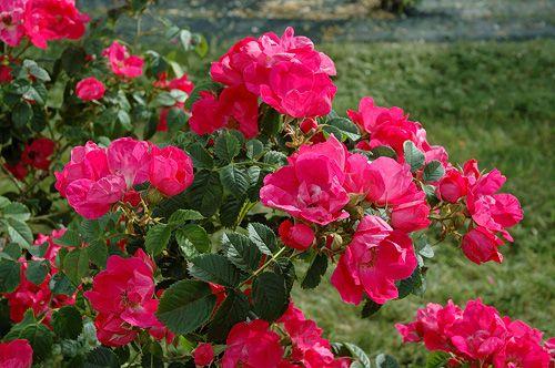 Lucka 20, Rosa 'Loiste', finsk buskros. Loiste är en rosbuske som växer till ca 1-1,2 meters höjd. Bladverket är mörkt grönt och friskt. Blommorna enkla men med en stark lysande karminröd färg. Loiste börjar blomma ett par veckor senare än de flesta övriga rosbuskar och blomningen fortgår i ca 1 månad. 'Pikkala' x L83. Ett resultat av Peter Joy's roskorsningsprogram fr 1994 vid Helsingfors Universitet. Rosen namngavs och introducerades 2012.