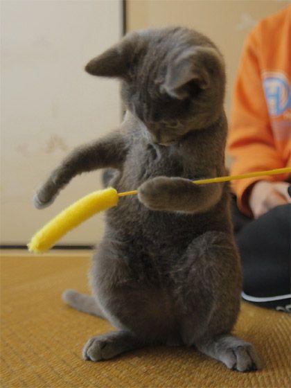Risultati immagini per sweet blue prussian kittens