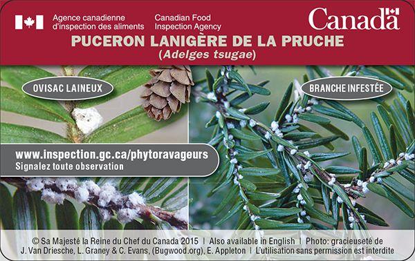 Si vous voyez de petits sacs laineux qui ressemblent à des boules de ouate sur des pruches du Canada, communiquez avec l'ACIA. Protégez les forêts de pruches canadiennes en nous signalant toute observation de puceron lanigère de la pruche. Pour en savoir plus : http://www.inspection.gc.ca/vegetaux/protection-des-vegetaux/insectes/puceron-lanigere-de-la-pruche/fra/1325610383502/1325610993895