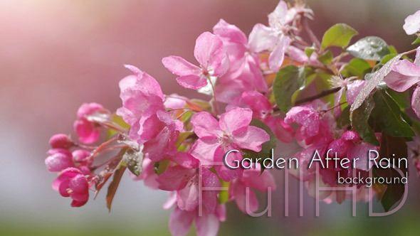 Blossoming Garden After Rain. Spring Garden Video Footage.