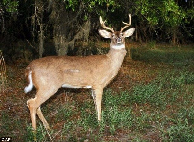 Doe-n't shoot! Wildlife officials use lifelike robo-deer decoys to ...