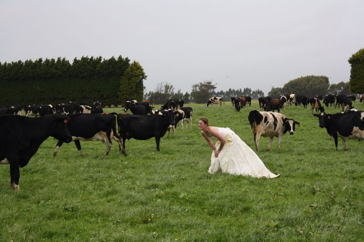 Cows. Trash my wedding dress